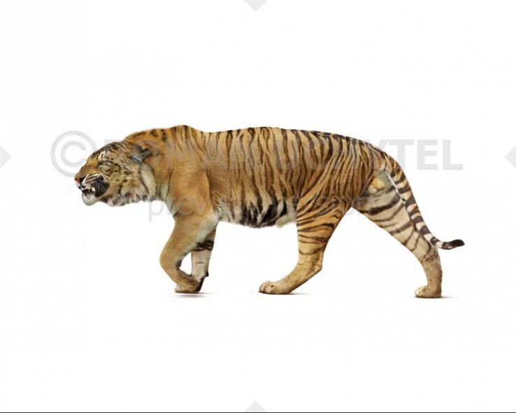 Trinil tiger (white background)