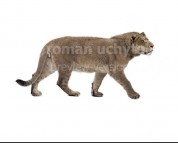 Panthera youngi (white background)