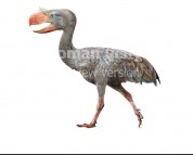 Paraphysornis brasiliensis (white background)
