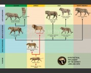 The hypothetical Phylogeny of the extinct lion-like cats