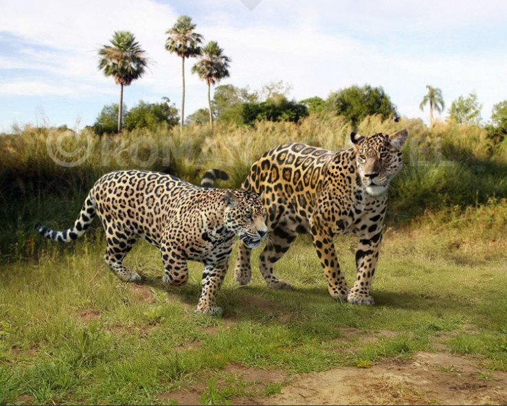 Panthera onca augusta and Panthera onca (size comparison)