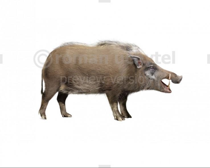 Giant bushpig (white background)