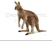 Short-faced kangaroo (black background)