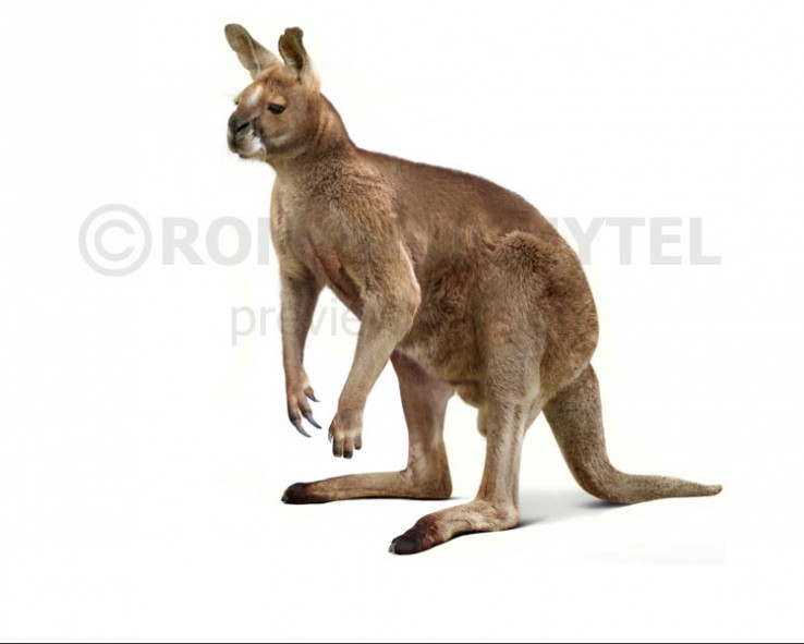 Short-faced kangaroo (black background)