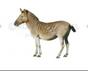 Quagga (white background)
