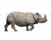 Rhinoceros sinensis (white background)