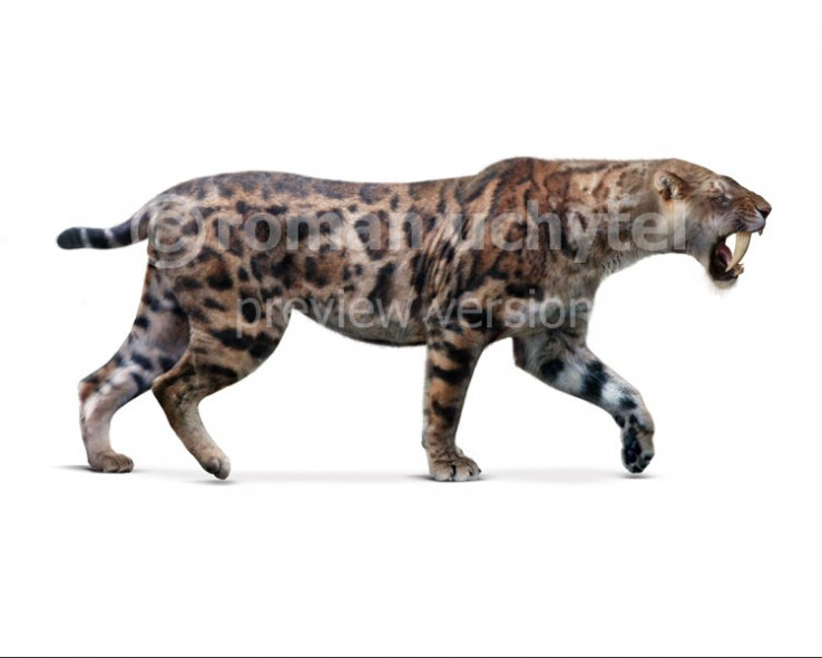 Smilodon‭ gracilis (white background)