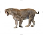 Smilodon populator (white background)