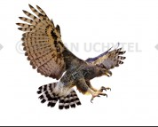 Malagasy crowned eagle (white background)