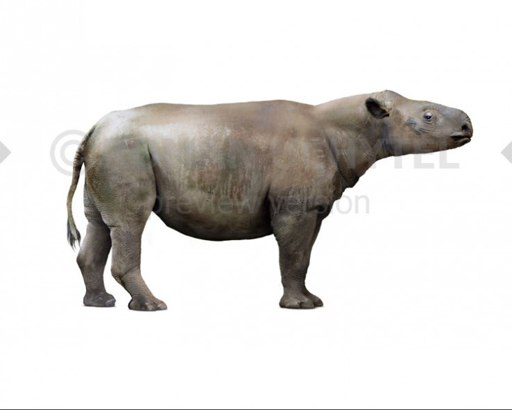 Subhyracodon occidentalis (white background)