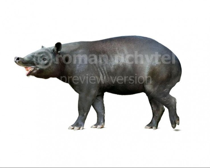 Tapirus augustus (Megatapirus augustus) (white background)
