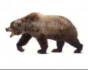 Ursus ingressus (white background)