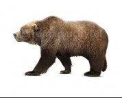 Pleistocene Steppe Brown Bear (white background)