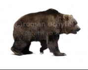 Ursus spelaeus (white background)