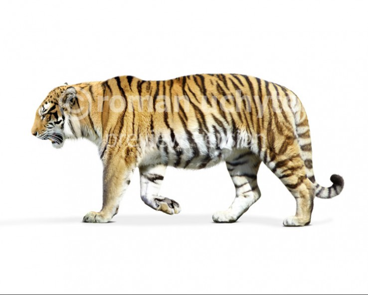 Wanhsien tiger (white background)