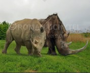 Woolly rhinoceros and white rhinoceros (size comparison)