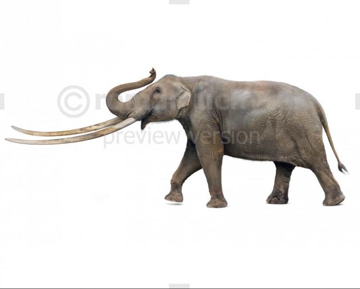 Zygolophodon borsoni (white background)