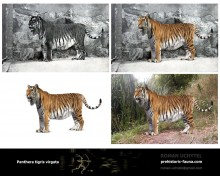 Caspian tiger (white background)