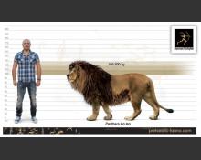 Barbary lion (white background)