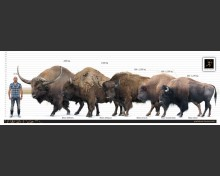 Bison priscus (white background)