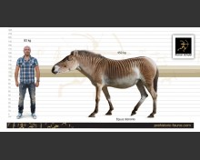 Equus (Allohippus) stenonis