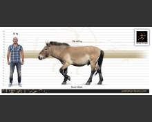 Equus latipes Gromova