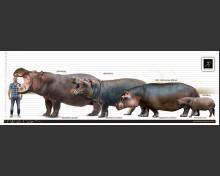 European hippopotamus (white background)
