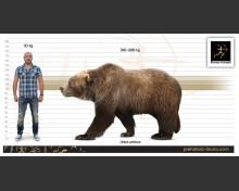 Pleistocene Steppe Brown Bear (white background)