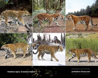 EVOLUTIONARY HISTORY Panthera tigris